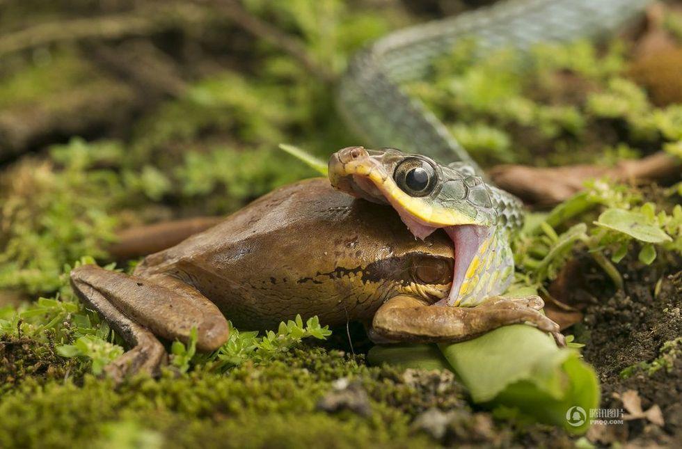 """摄影师拍下""""贪吃蛇""""活吞树蛙过程"""
