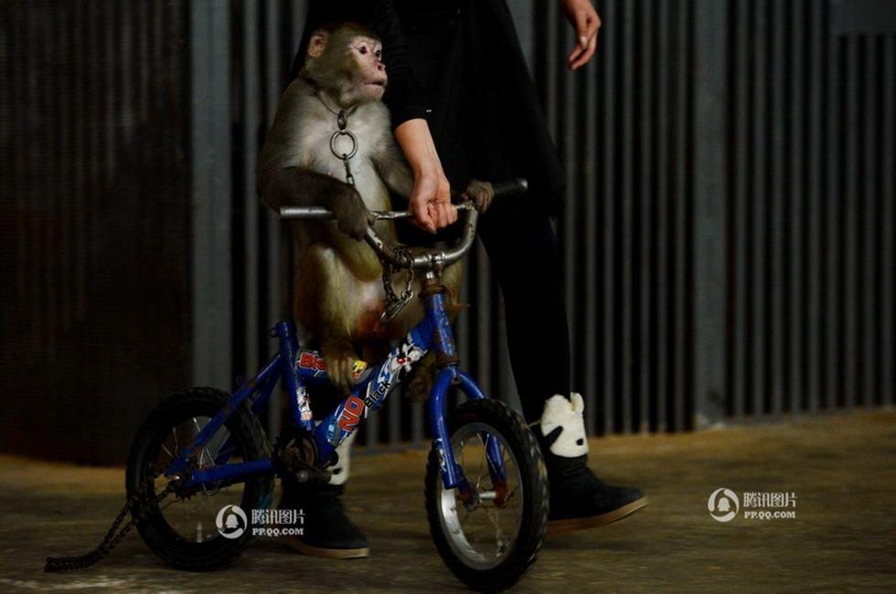 表演太卖力,把自行车的链条都骑得脱位.王惠桃帮助它回到后场.-图片