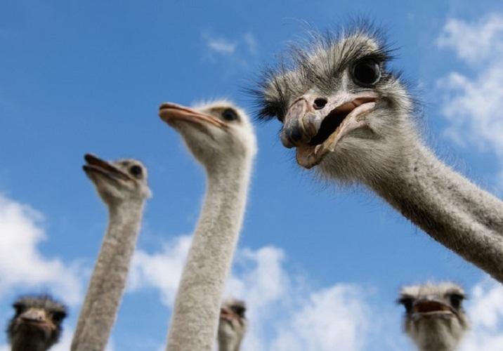 动物王国十大谣传:鸵鸟不会把头埋进沙中等