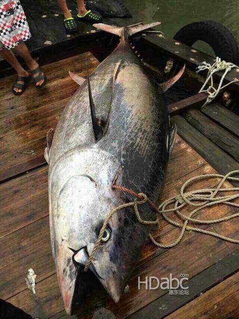 惠州渔民捕到巨鱼 预估可卖上千万元