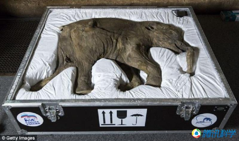 最完整猛犸象遗骸伦敦展出 已沉睡4.2万年