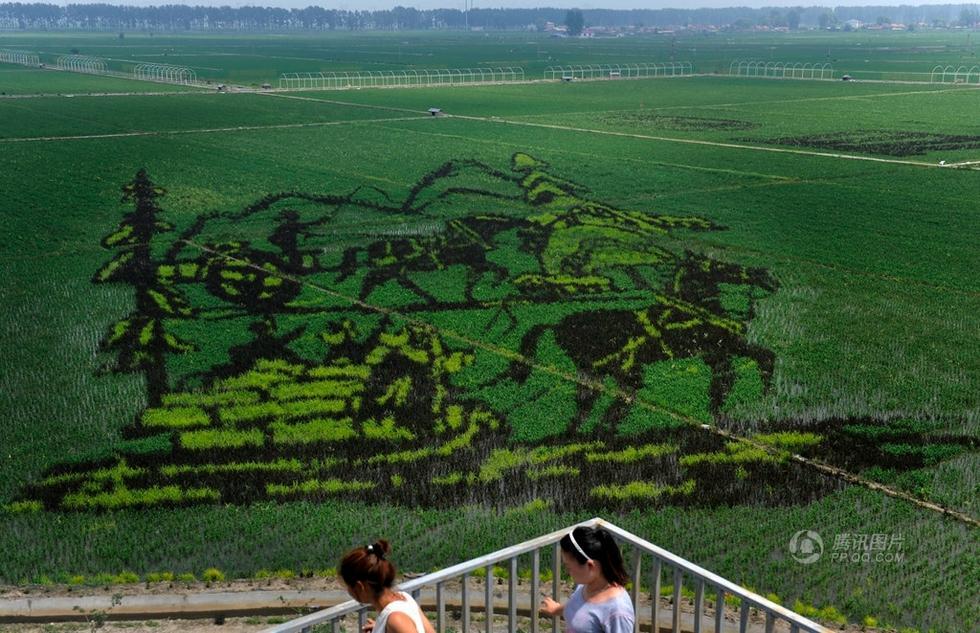 沈阳市沈北新区种植的680余亩稻田画初步形成观赏效果