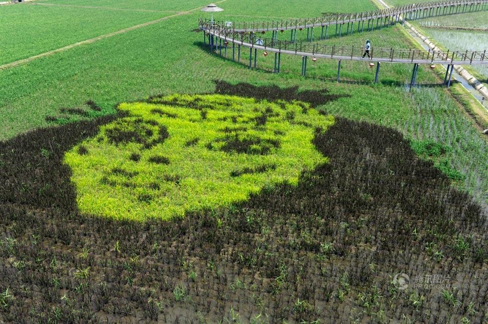 景观将3D技术引入稻田画种植中,通过人工技术控制稻秧株高,让图案呈现出凹凸有致的立体画面。