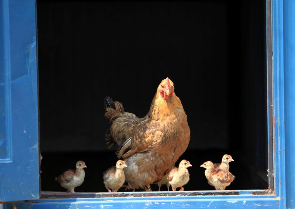 吉林动物园4只鸡妈妈孵出60只小孔雀