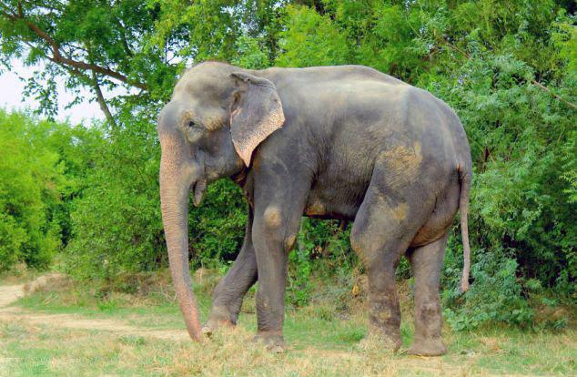 印度大象遭虐待50年 获救后感动流泪