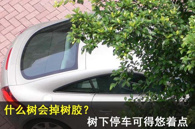 什么树会掉树胶? 树下停车可千万得悠着点