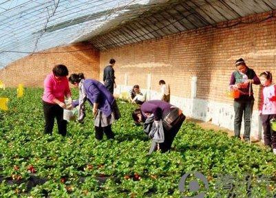 挎篮子京郊摘草莓