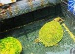 黄金大海龟啊
