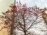 深圳地王大厦前的木棉树
