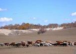 平原见牛羊
