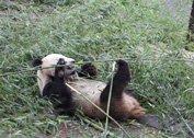 四川省雅安碧峰峡大熊猫保护基地