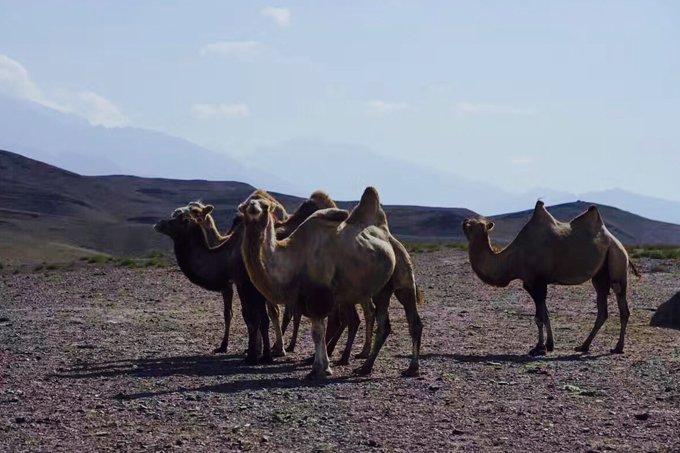 """骆驼号称""""沙漠之舟"""",它们特别耐饥耐渴.人们能骑着骆驼横穿沙漠"""