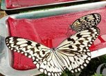 蝴蝶馆里的蝴蝶