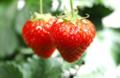 孕妈咪幼儿吃草莓的注意事项!