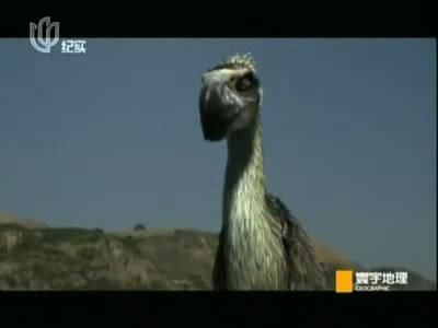 视频-称霸地球1.5亿年 史前霸主恐鸟的灭绝之谜