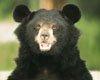 黑熊攻击人类之谜 力大无穷谁之与敌