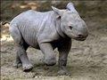 家有犀牛宝宝 动物与人至情至深