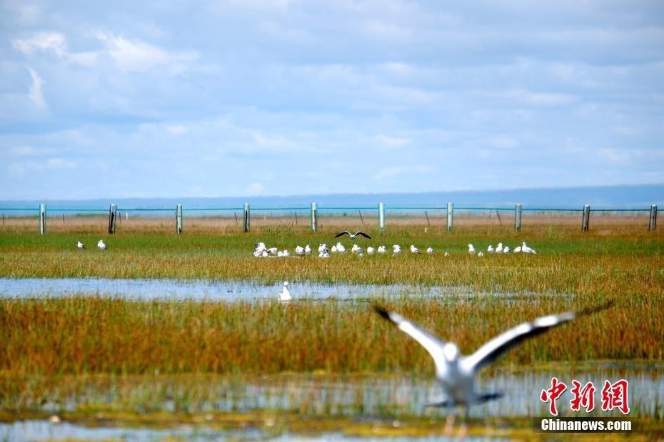 """青海湖北岸呈现""""鱼鸟天堂"""""""