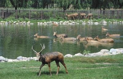 大兴南海子麋鹿将竞争北京冬奥吉祥物