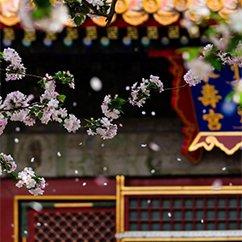 故宫海棠花开 花瓣随风飘落实在太美