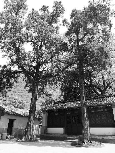 """无""""身份证"""" 房山区300岁古树被遗忘"""