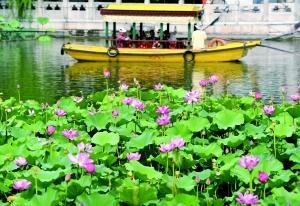 北海公园荷花展开幕 首次引入泰国品种荷花