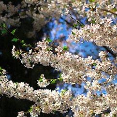 【大光圈】玉渊潭花开正盛 做安静赏花人
