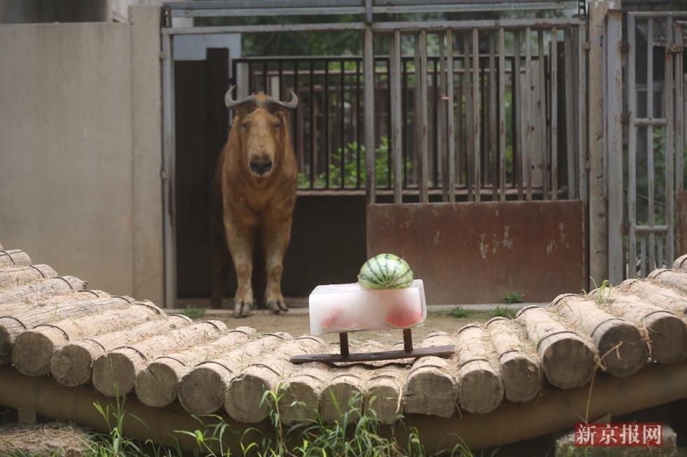 喂冰块绿豆水 动物园防暑妙招多