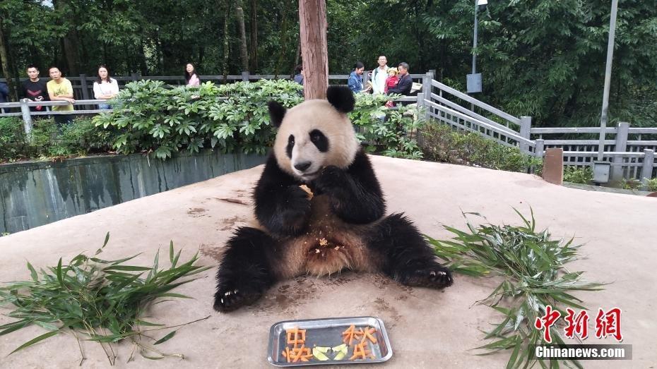 国宝大熊猫的中秋节