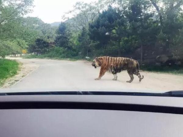 凶残!在斯里兰卡野生动物园,千万不要私自下车!