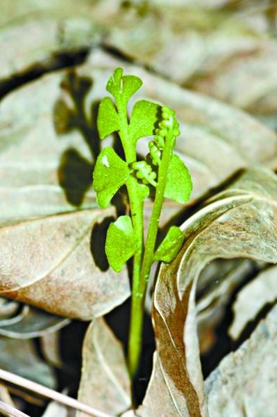 北京地区罕见蕨类植物60年后再被发现