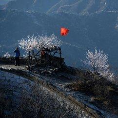 北京箭扣长城山桃花盛开 悬崖峭壁间繁花朵朵