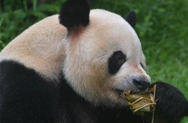 北京动物园动物吃粽子大餐过端午