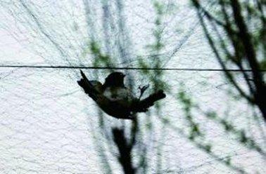 北京捕鸟者高空拉十余张网 保护动物卖5元一只