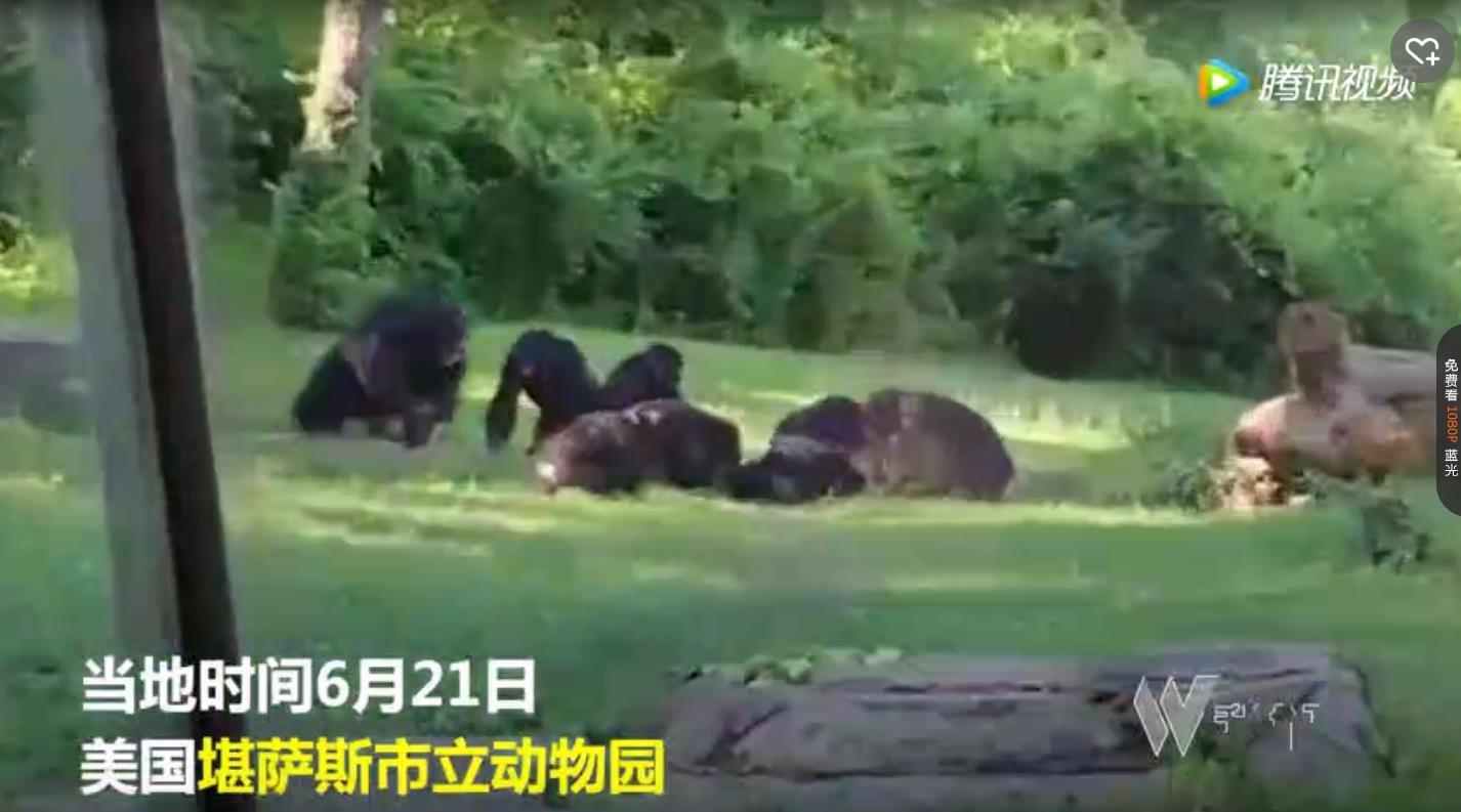 """""""黑猩猩坠树被同伙打死"""