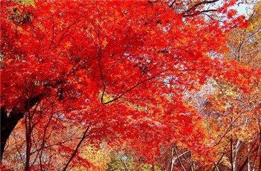 彩叶变色各不同 市民赏红可错峰