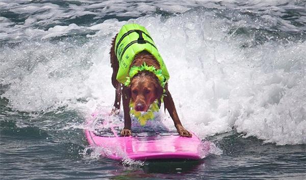 对于人来讲,学冲浪已经够难了,但在美国加利福尼亚州的Loews Coronado Bay Resort & Spa,教练员将挑战教狗狗冲浪这一艰难任务。这家酒店对狗狗很友好,甚至为顾客提供最佳遛狗路线和粪便袋。狗狗冲浪教学始于2005年,在附近的科罗拉多狗海滩进行。只需389美元(约合人民币2417元),你和狗狗就可以享受一夜入住,一小时冲浪课,得到一件给狗狗穿的衣服和一顿室内大餐。