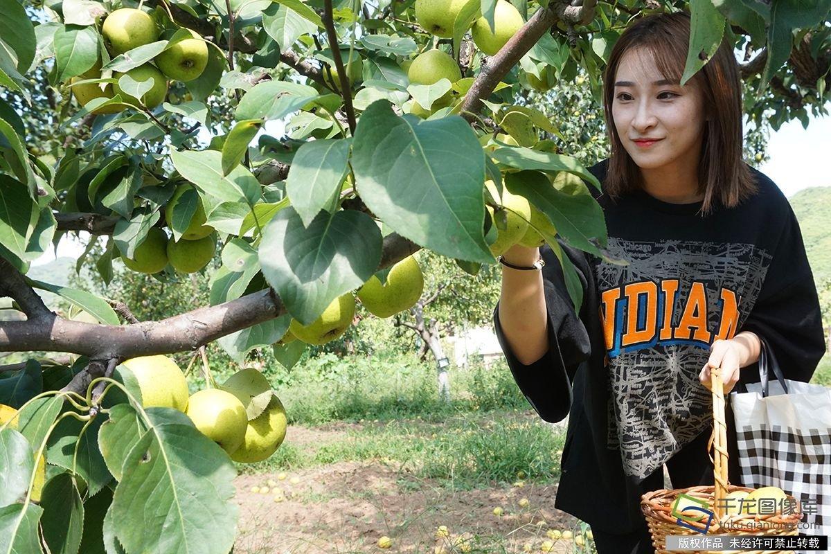 北京门头沟京白梨产量将达22万公斤