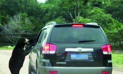 有游客爆料,在八达岭野生动物园猛兽区内,一只马来熊将脑袋伸进了游客