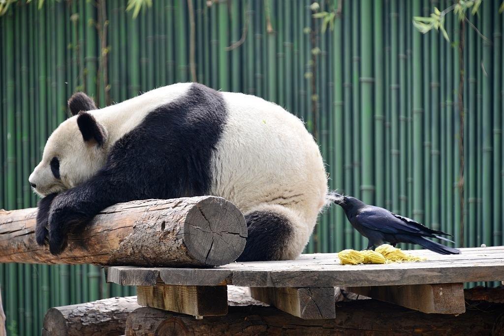 壁纸 大熊猫 动物 1024_683