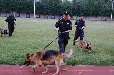北京缉私犬基地迎来22只德国犬