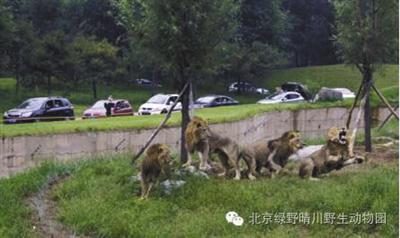 北京野生动物园游客不听劝阻 带孩子在白虎区下车