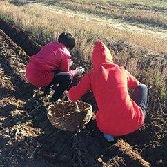 国庆第二天:挖土豆 晒秋色