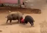 印度六十老妇遭猪狂怼