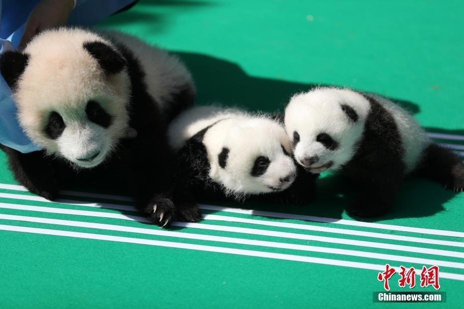 2018年新生熊猫宝宝集体亮相