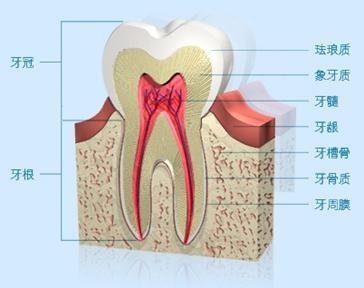 我们先简单熟悉下牙齿的结构
