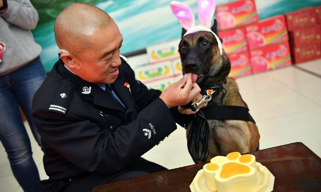 警犬集体过生日 吃特制蛋糕卖萌