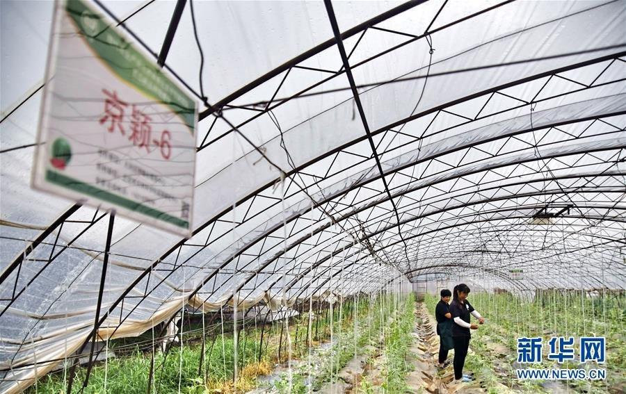 京郊秋季西甜瓜进入种植期