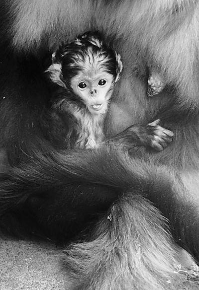 """北京动物园金丝猴""""阿静""""喜得""""千金"""""""