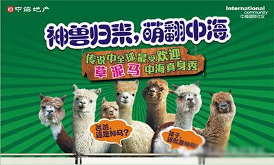 中海国际社区 羊驼形象展 神兽归来 萌翻中海